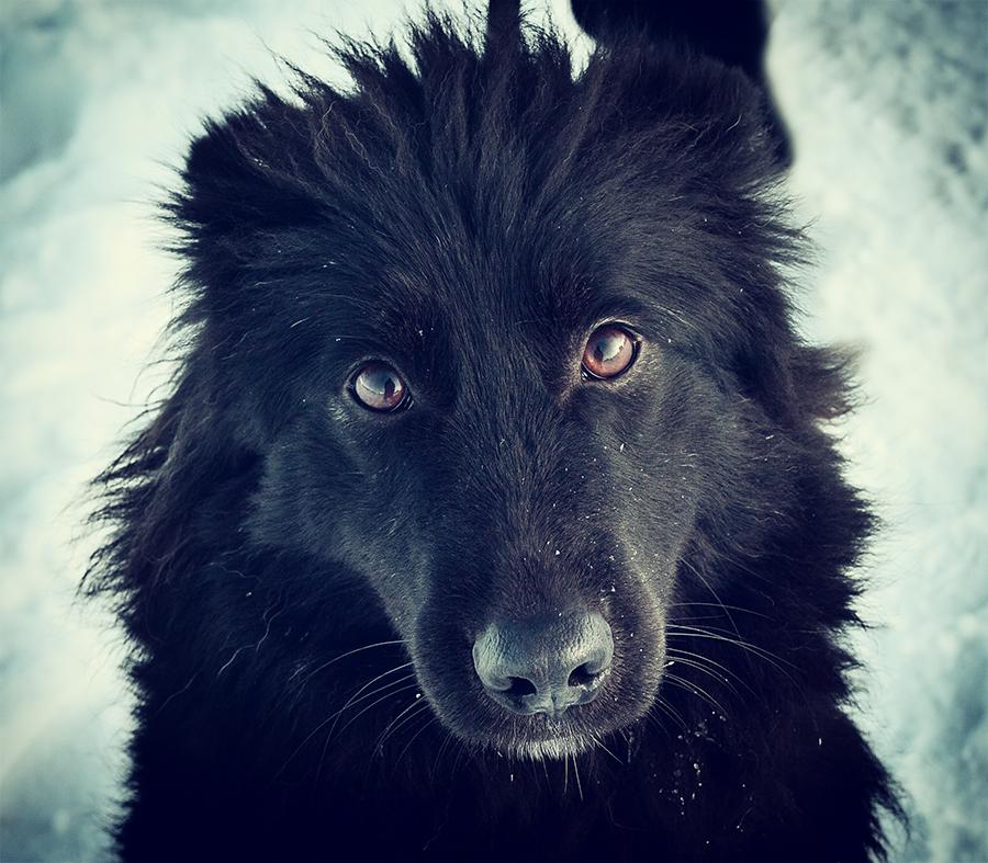 Блэки - ласковая и добродушная собака
