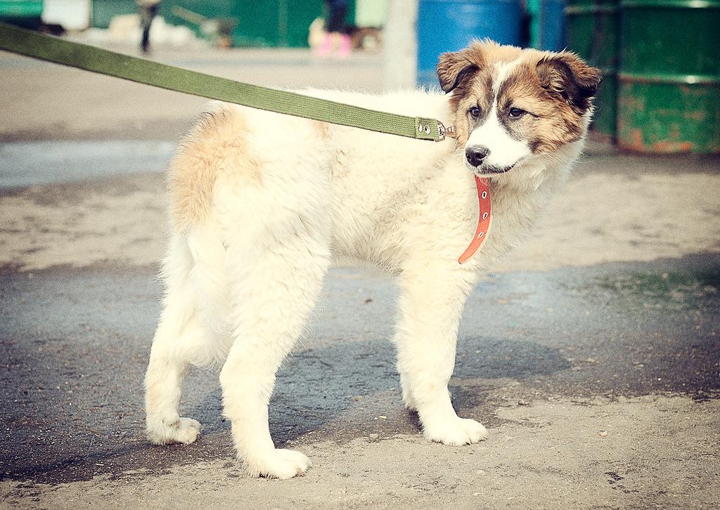 Белый пушистый щенок из приюта