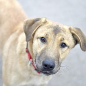 Бимбо - метис риджбека из приюта собак