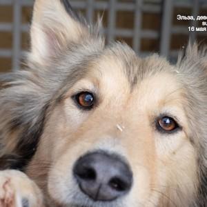 собака из приюта метис колли Эльза