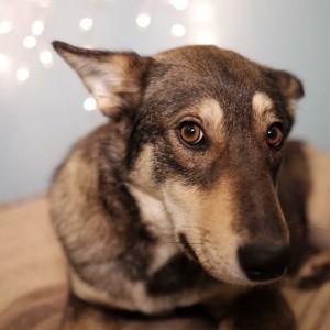 Лиса собака из приюта собак в Химках
